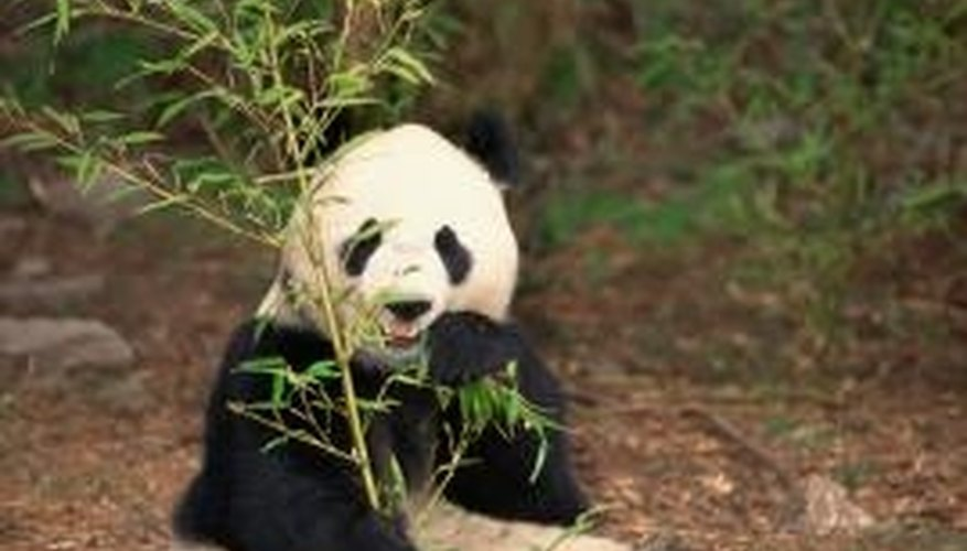 Bamboo is the main part of a panda's diet.