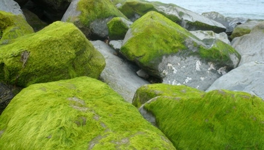 Though closely related to plants, green algae are not classified as plants.