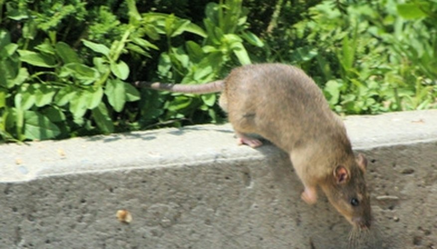 Rats invade homes and bring diseases into the home.