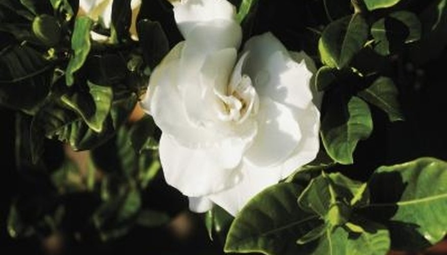 Avoid planting gardenias near concrete for it may interfere with soil pH.