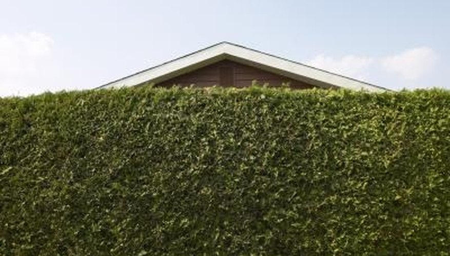 A variety of evergreens can be used for a privacy fence.