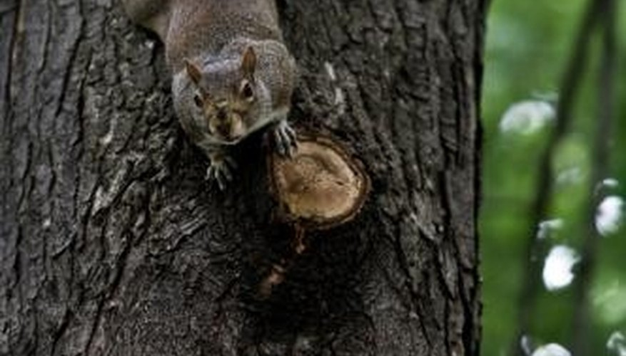 Keeping squirrels out of nut trees is a real challenge--and not always possible!