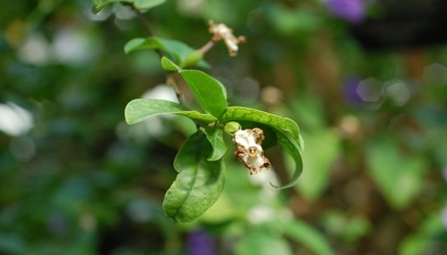 Fight spider mites by thoroughly spraying foliage including leaf undersides.