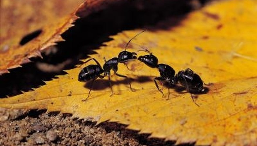 An adhesive barrier may keep ants out of fruit trees.