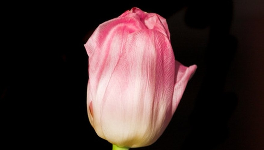 Grow tulips indoors for a touch of color during the long days of winter.