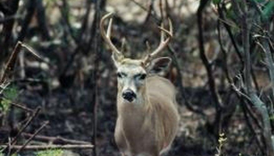 Deer antlers inspire chandelier designs.