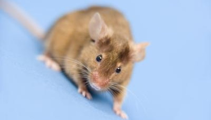 A mouse in the attic is an unwelcome guest.
