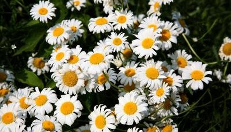 Daisies are attractive, springtime perennials.
