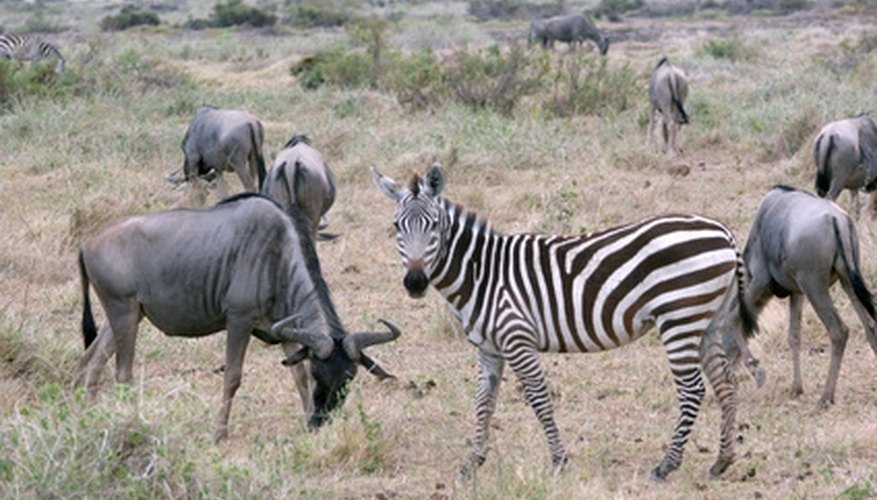 The tropical savannas of Africa often support impressive numbers of grazing ungulates.