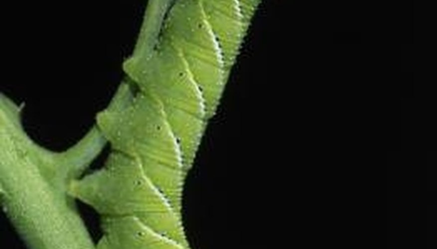 Pests with chewing mouthparts, like the tomato hornworm, can devour your plants' leaves.