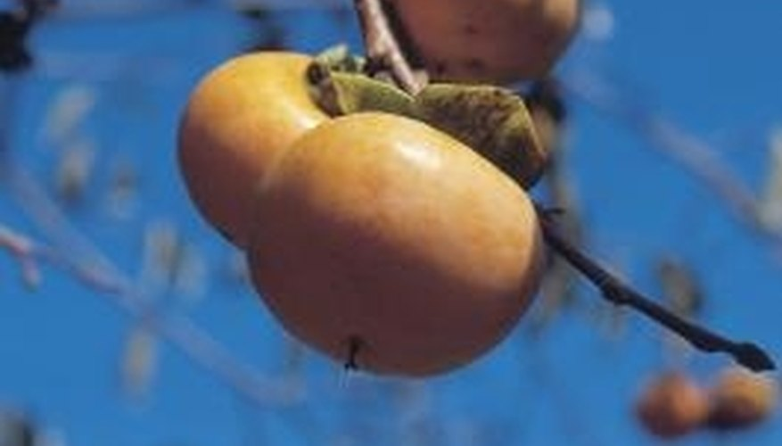 Persimmons have orange fruit with soft, pudding-like texture.