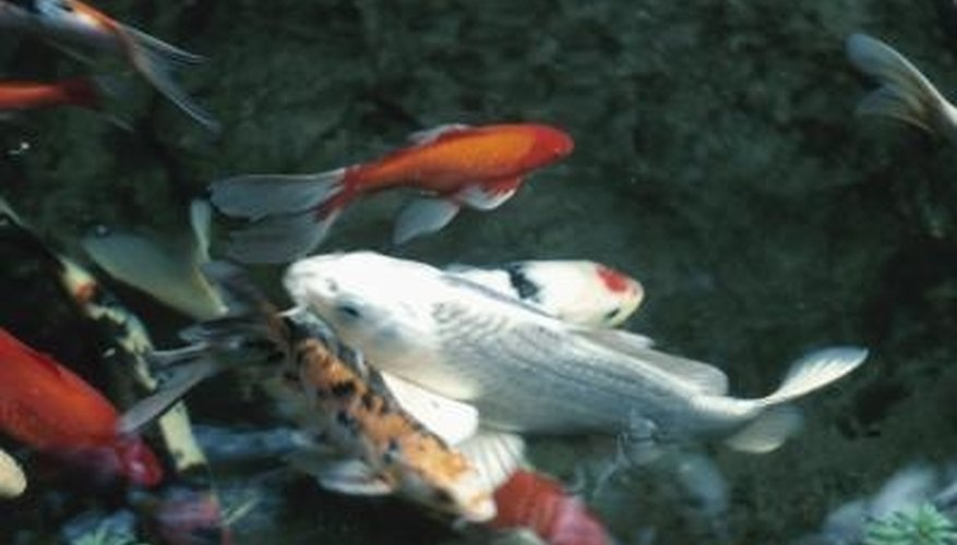 Koi are prized for their various colors and markings.