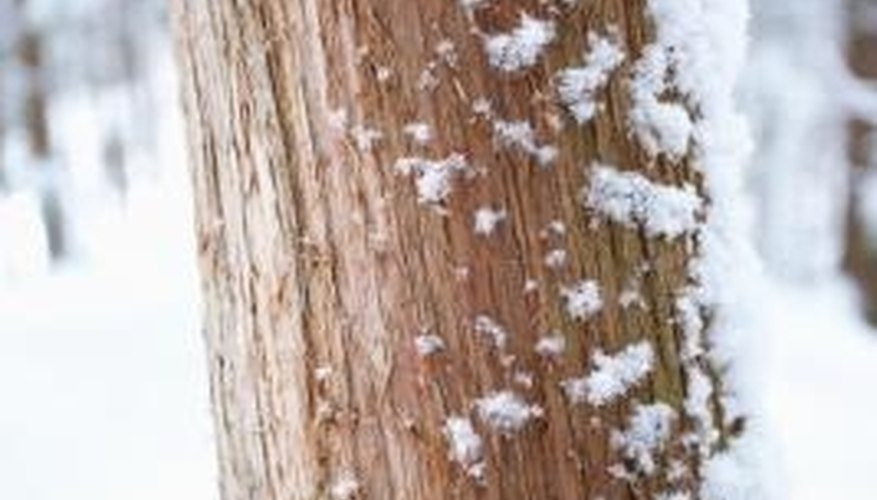Snow across the trunk of a cedar