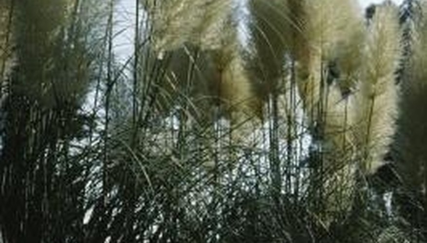 Pampas grass clumps become tall, fibrous and coarse in texture.