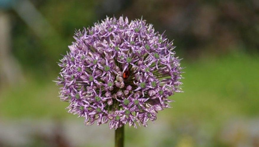 Alliums Are Long Lasting Flowering Bulbs