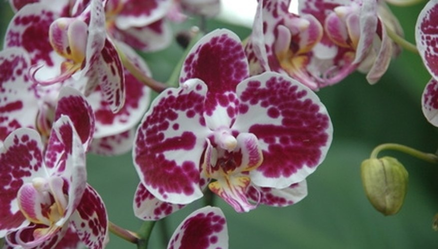A phalaenopsis orchid hybrid, found in many stores and very popular for its lengthy bloom time