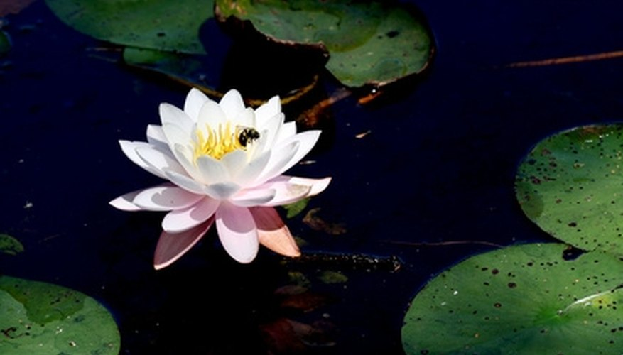 Water lilies are common pond plants.