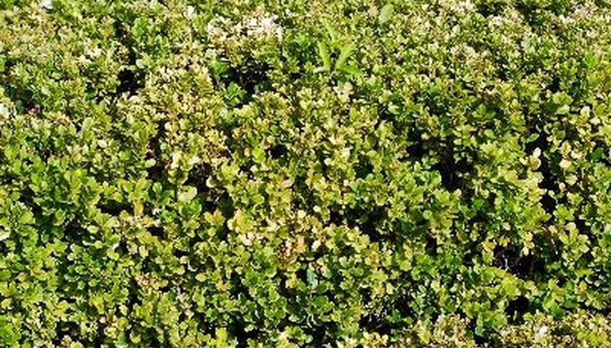 Boxwood shrubs perform well in zone 9 and work well as hedges.