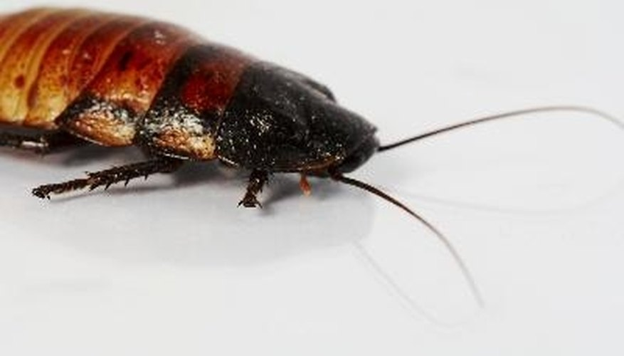 Roaches thrive in moist, dark places including mulch and grasses.