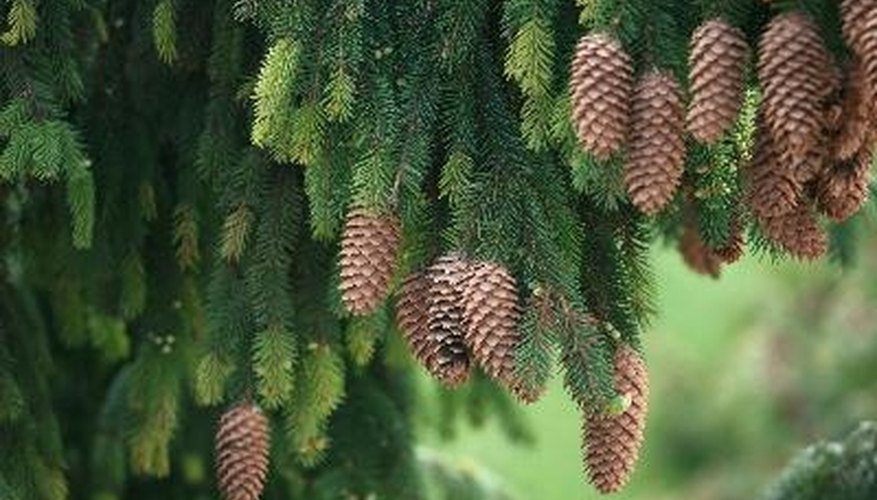 Evergreen trees are best in neutral to slightly acidic soils.