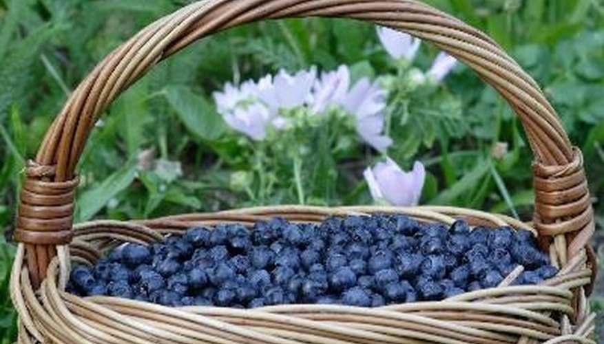Healthy, ripe blueberries are violet blue. Blueberries with an iron deficiency turn yellow.