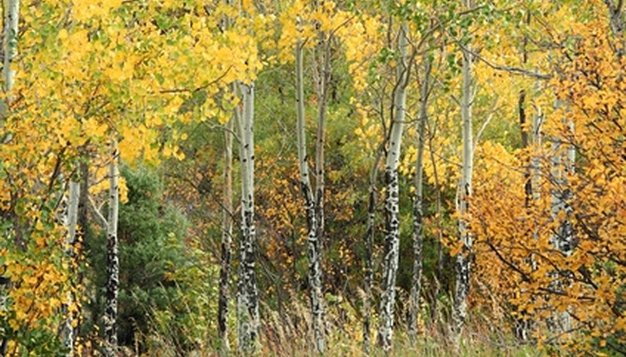 Quaking aspens grows from USDA zone 1 through zone 6.