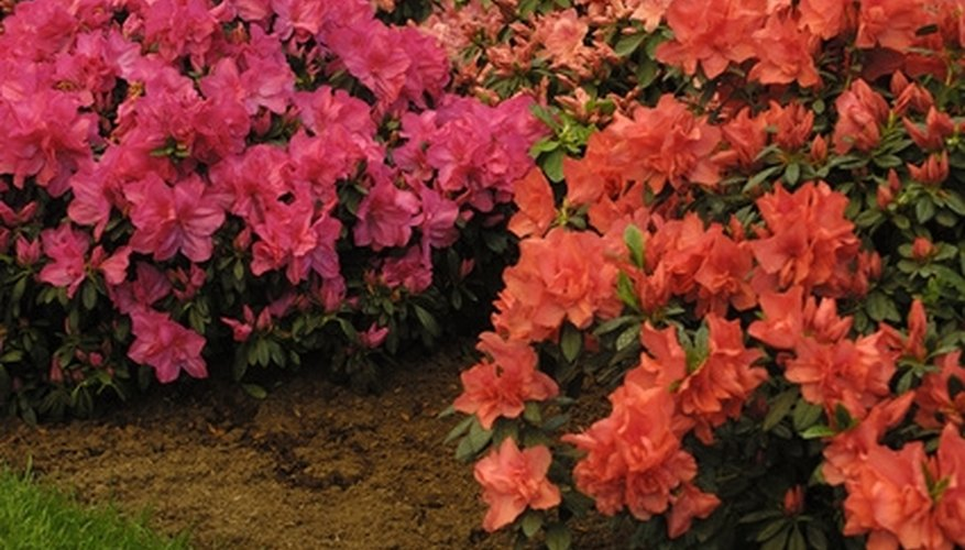 Azaleas are broadleaf evergreens for USDA zone 5 plantings.