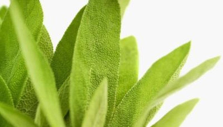 Sage foliage is dark green or grayish green on the surface with lighter green undersides.