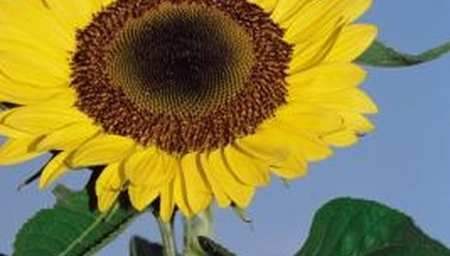 Use a blooming sunflower for inspiration when decorating a cake.