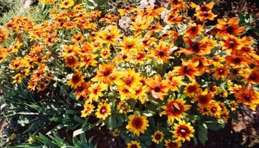 Hardy mums come in a wide range of colors.