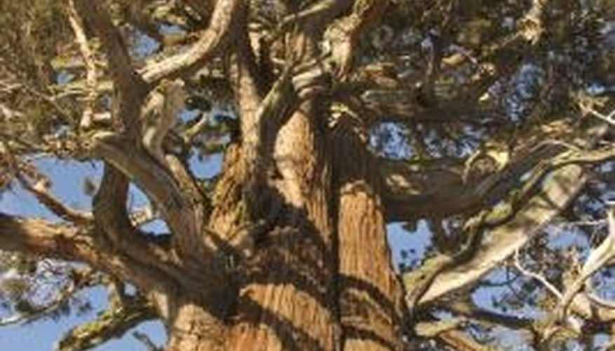 The long-lived ponderosa pine's thick bark enables the tree to resist forest fires.