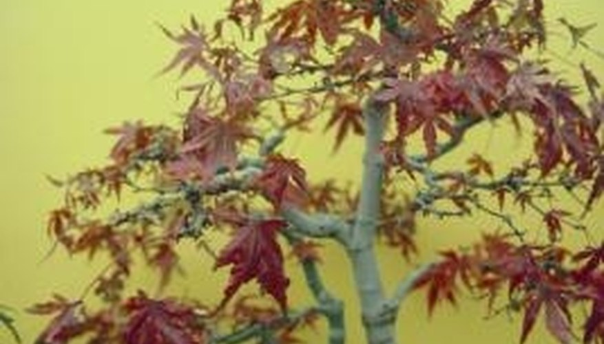 The Japanese maple is prized for its growth habit and foliage.