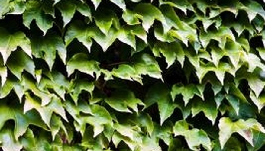 Thick ivy can cause severe problems when growing on trees.