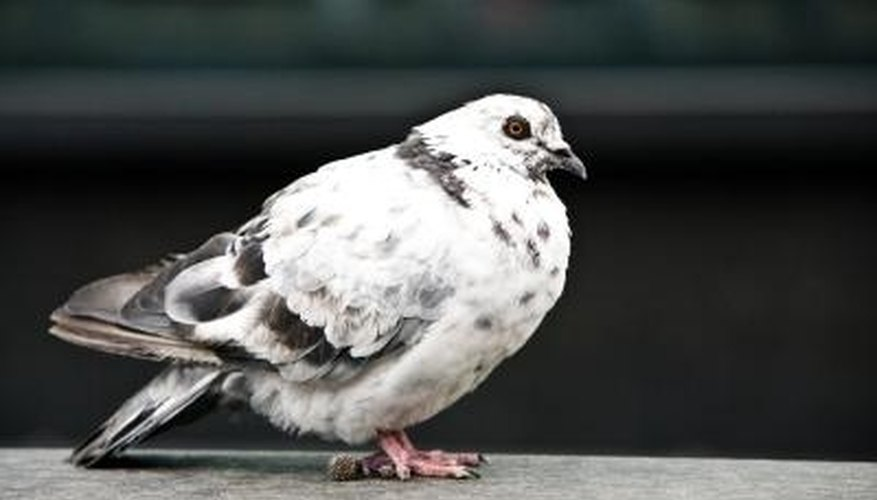Pigeons prefer black oil sunflower seeds to striped ones.