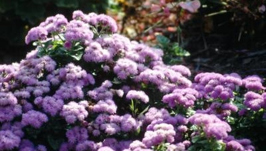 Because of its fluffy blooms, ageratum is also known as flossflower.