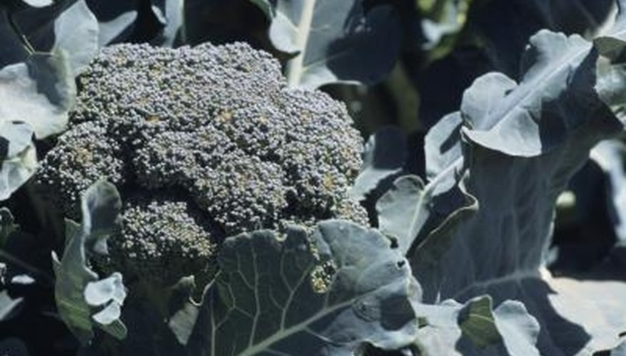 Pruning broccoli keeps the plant producing.