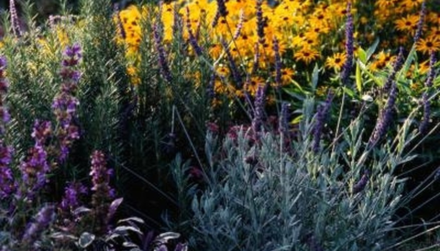 Can Rosemary Lavender Grow Side By Side Garden Guides