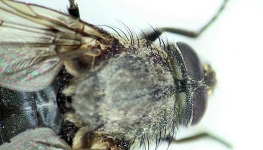The housefly is a pest found in unclean restaurants.