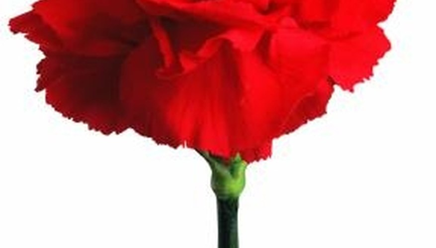 Cardinal red is a naturally occurring carnation color.
