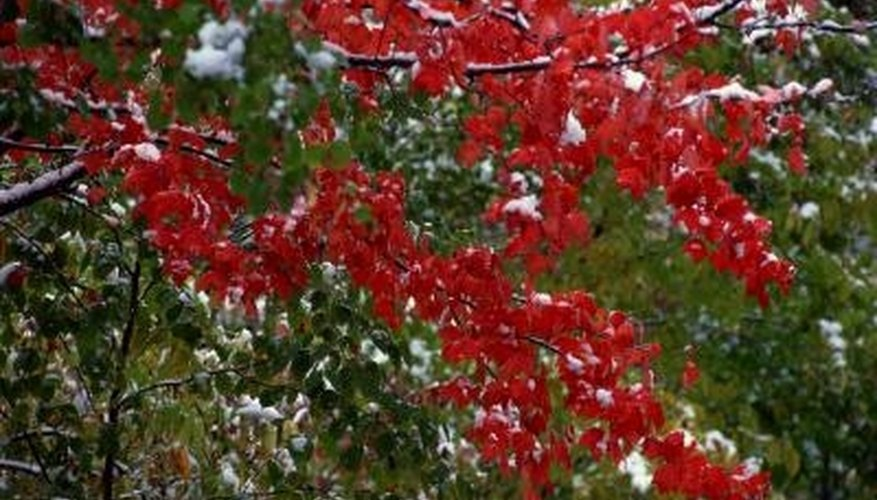 Japanese maples add red color to your landscape. - Red Bushes For Landscaping Garden Guides