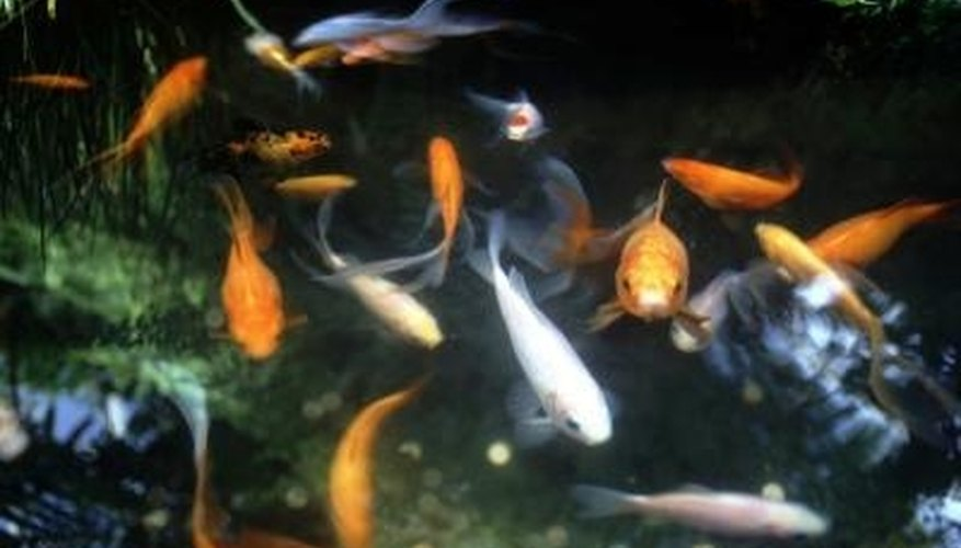 Fish will die in your pond if they don't get enough oxygen.