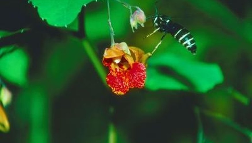 Hornets can be unwanted pests when they are close to the home.