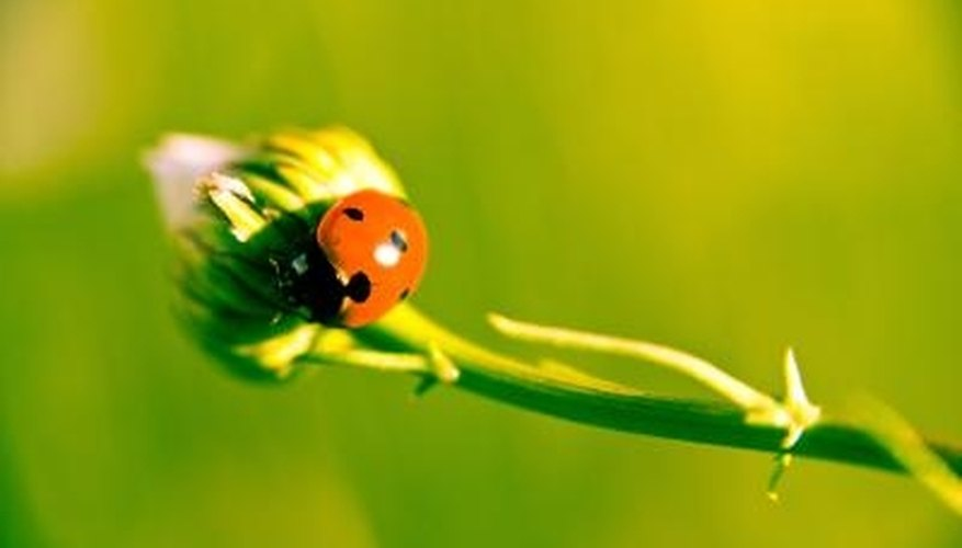 Ladybugs eat aphids, helping to keep the pest under control.
