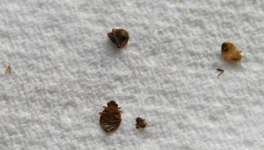 Bed bugs also hide in walls, on headboards and behind electrical outlet switchplates.