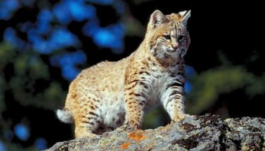 How to Attract Bobcats