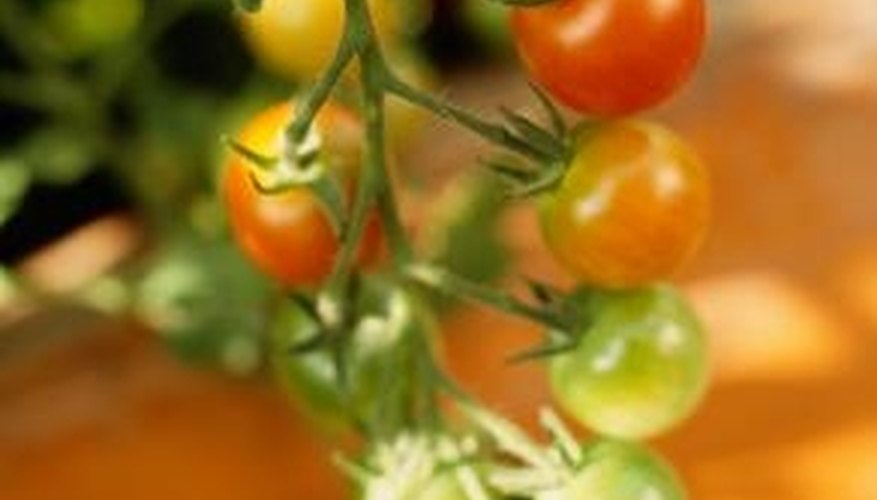 Tomatoes that are full-sized but still green can be harvested before a frost.