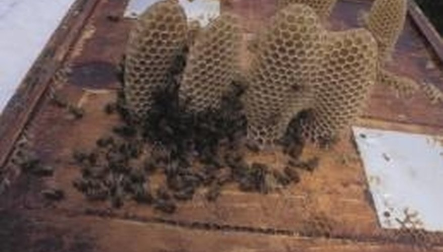 Honeycombs like these produce honey and beeswax.