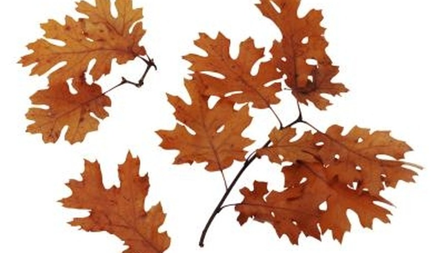 Oak leaves lose their fall pigments and become tan.