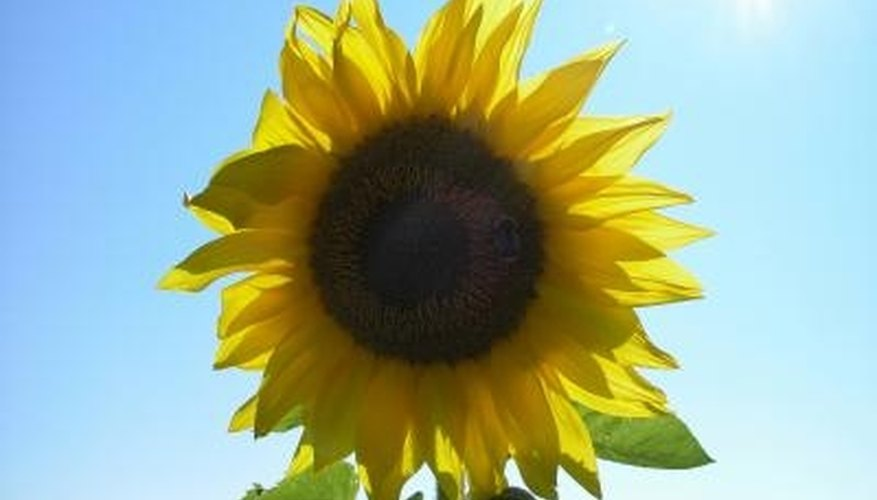 The tallest recorded sunflower grew to around 26 feet.