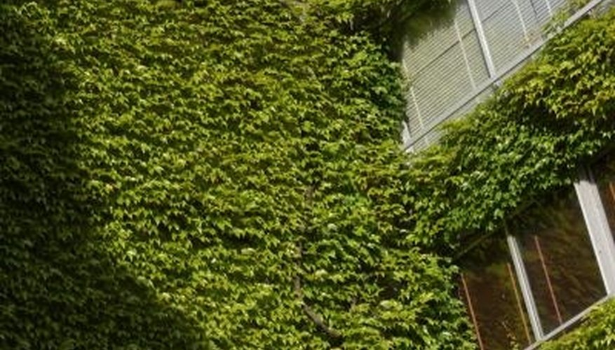 English ivy looks elegant climbing buildings.